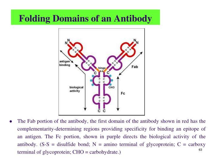 Folding Domains of an Antibody