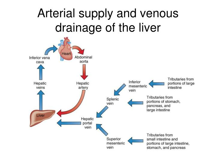 Arterial supply and venous drainage of the liver