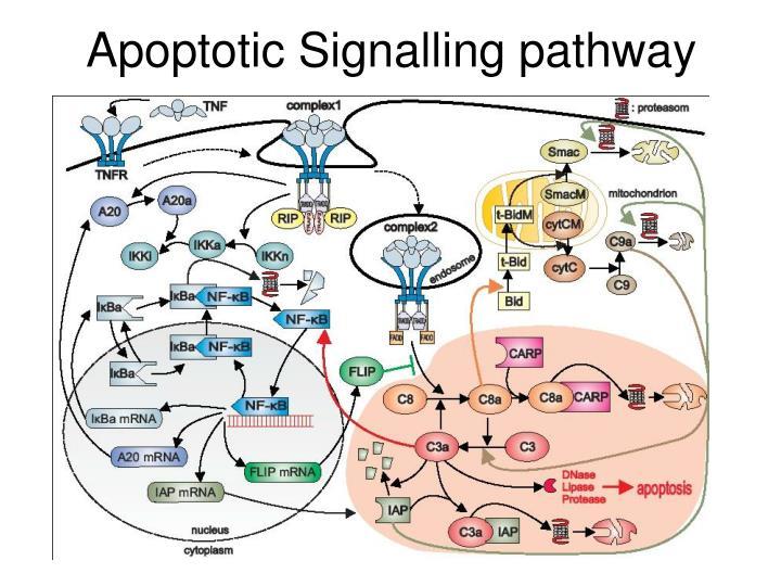 Apoptotic Signalling pathway