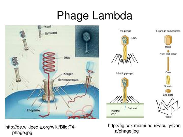 Phage Lambda