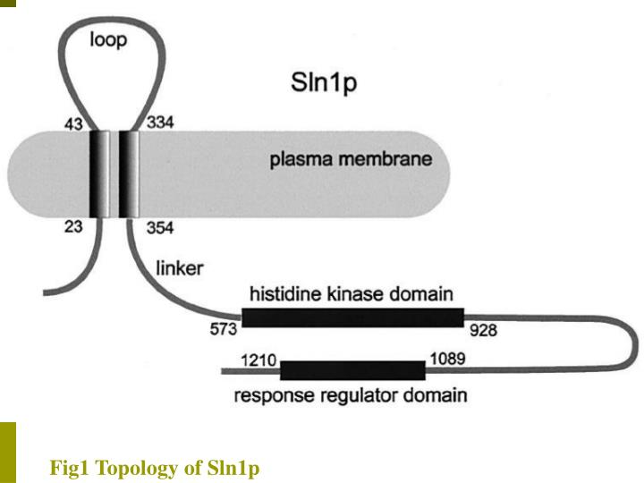 Fig1 Topology of Sln1p