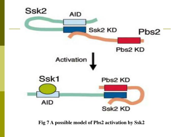 Fig 7 A possible model of Pbs2 activation by Ssk2