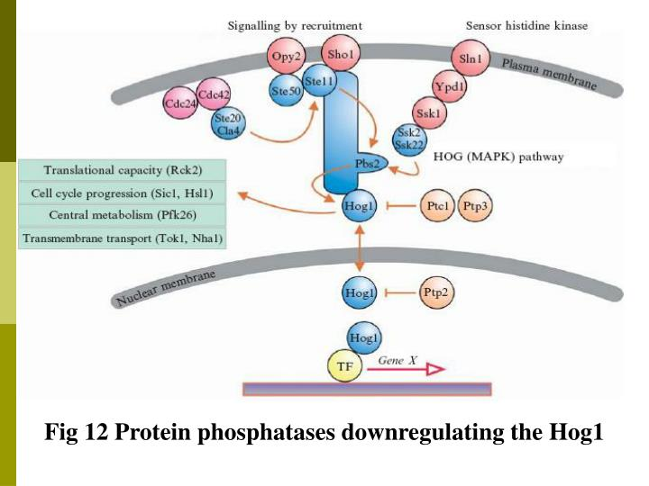 Fig 12 Protein phosphatases downregulating the Hog1