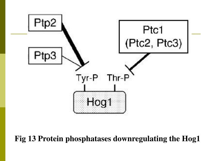 Fig 13 Protein phosphatases downregulating the Hog1