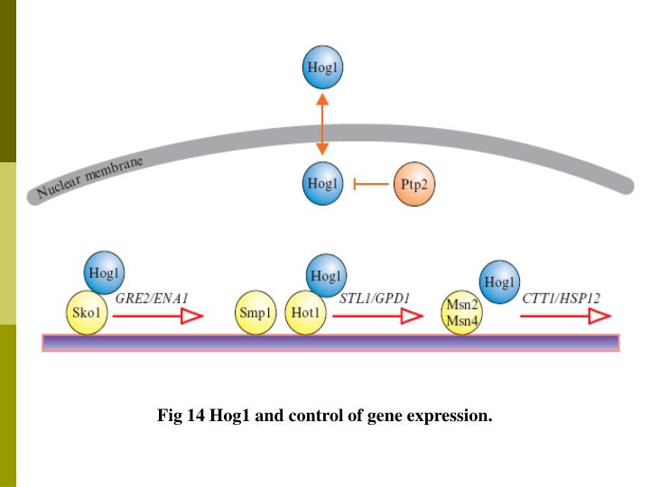 Fig 14 Hog1 and control of gene expression.