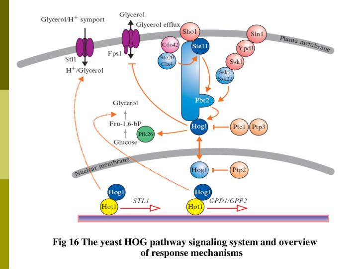 Fig 16 The yeast HOG pathway signaling system and overview of response mechanisms