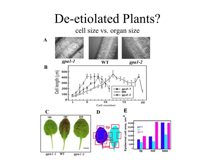 De-etiolated Plants?