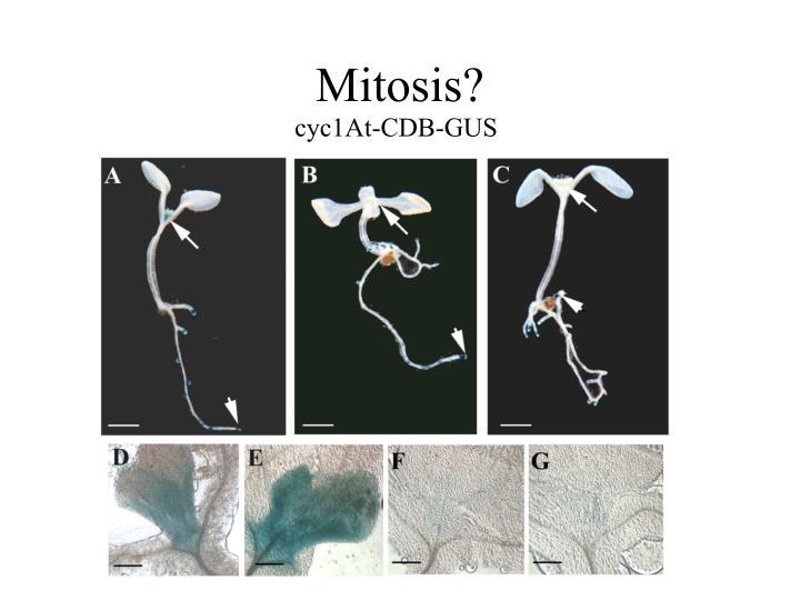 Mitosis?