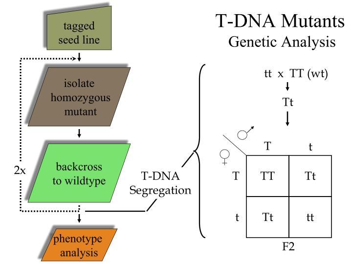 T-DNA Mutants