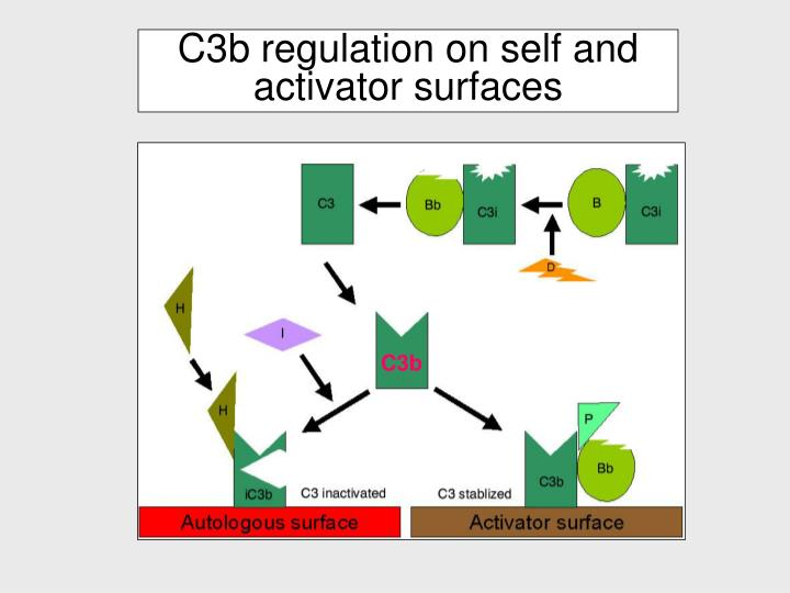 C3b regulation on self and activator surfaces