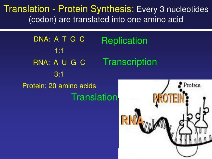Translation - Protein Synthesis: