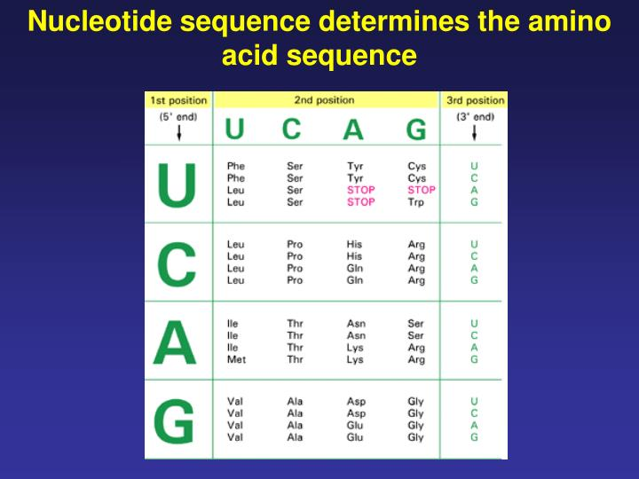 Nucleotide sequence determines the amino acid sequence
