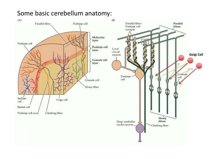 Some basic cerebellum anatomy: