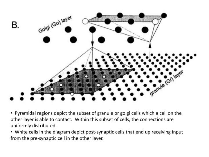 Pyramidal regions depict the subset of granule or golgi cells which a cell on the other layer is able to contact.  Within this subset of cells, the connections are uniformly distributed.