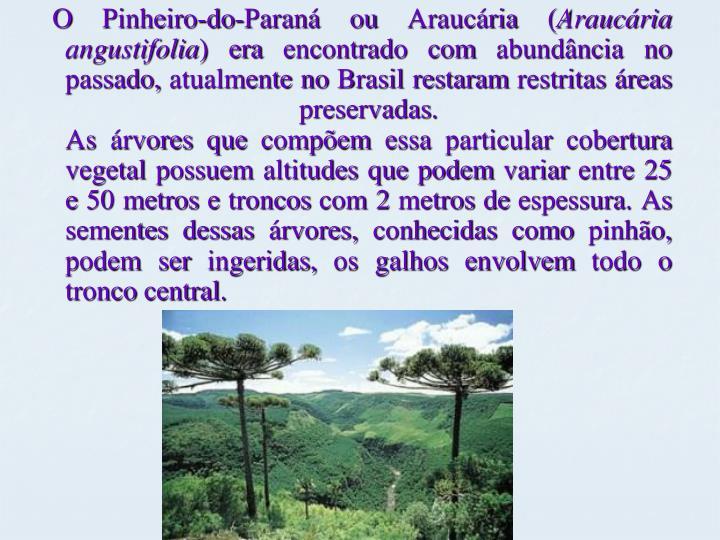 O Pinheiro-do-Paraná ou Araucária (