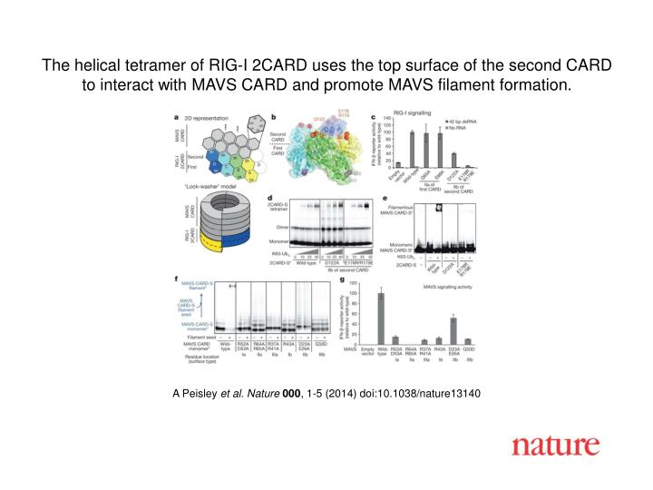 The helical tetramer of RIG-I 2CARD uses the top surface of the second CARD to interact with MAVS CA...