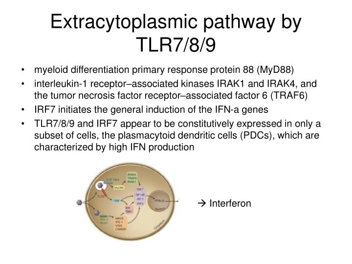 Extracytoplasmic pathway by TLR7/8/9
