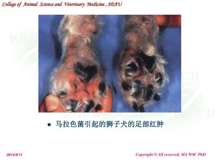 马拉色菌引起的狮子犬的足部红肿