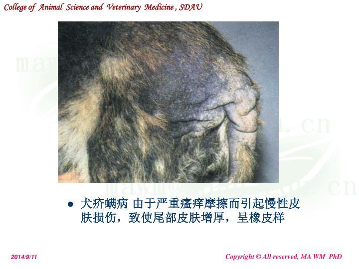 犬疥螨病 由于严重瘙痒摩擦而引起慢性皮肤损伤,致使尾部皮肤增厚,呈橡皮样
