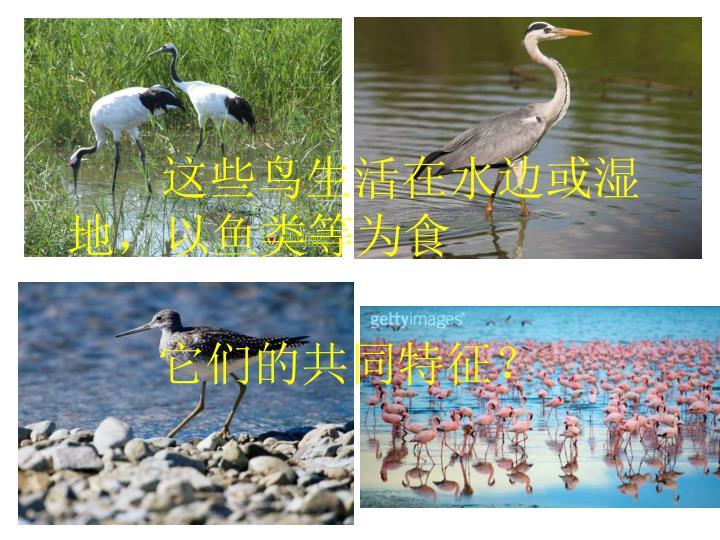 这些鸟生活在水边或湿地,以鱼类等为食
