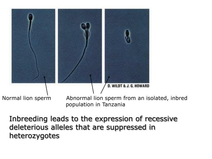 Normal lion sperm        Abnormal lion sperm from an isolated, inbred population in Tanzania