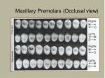 maxillary premolars occlusal view