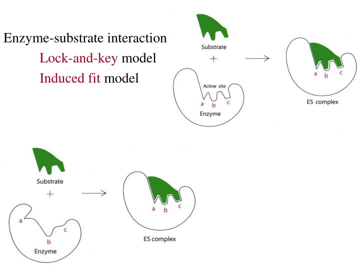 Enzyme-substrate interaction: