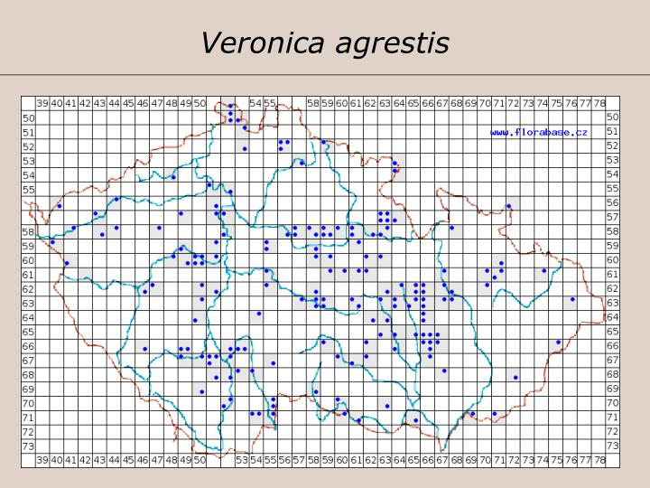 Veronica agrestis