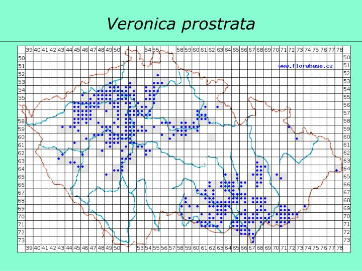 Veronica prostrata