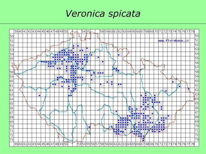 Veronica spicata