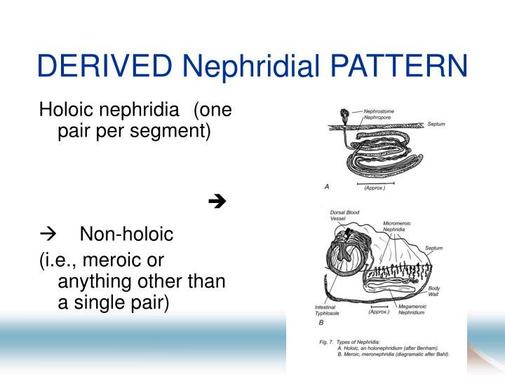 DERIVED Nephridial PATTERN