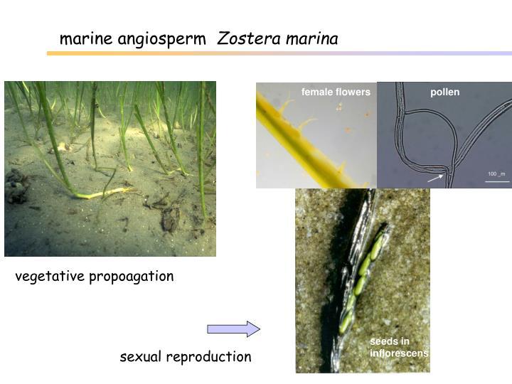 marine angiosperm