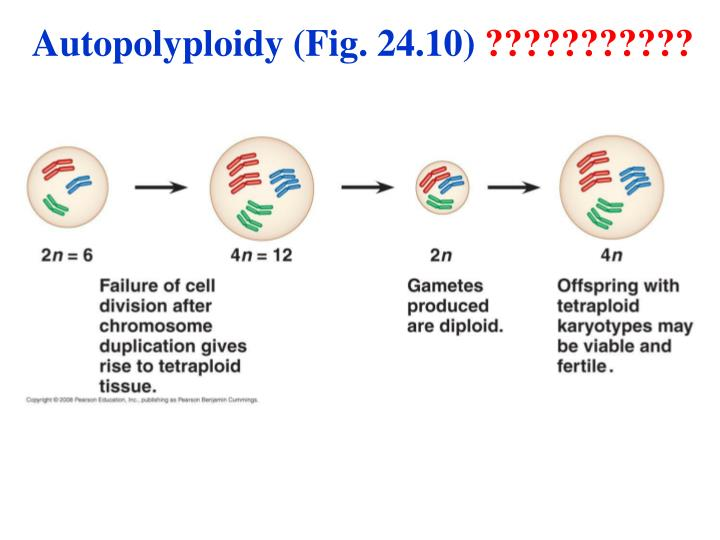 Autopolyploidy (Fig. 24.10)