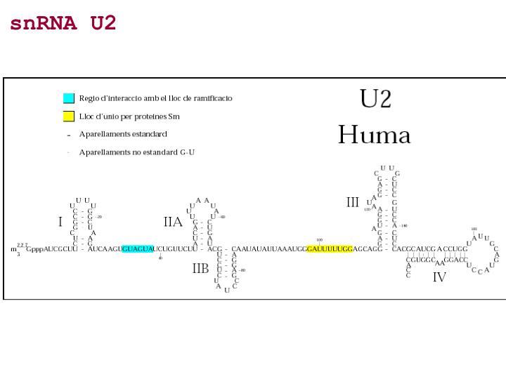 snRNA U2