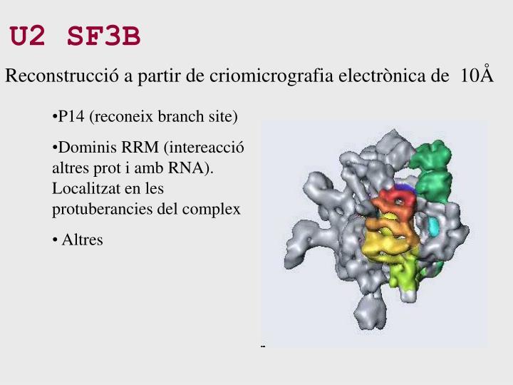 U2 SF3B