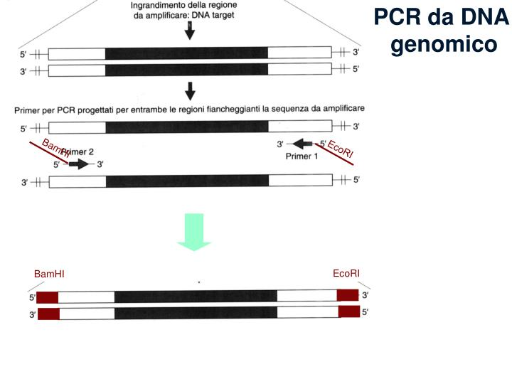 PCR da DNA