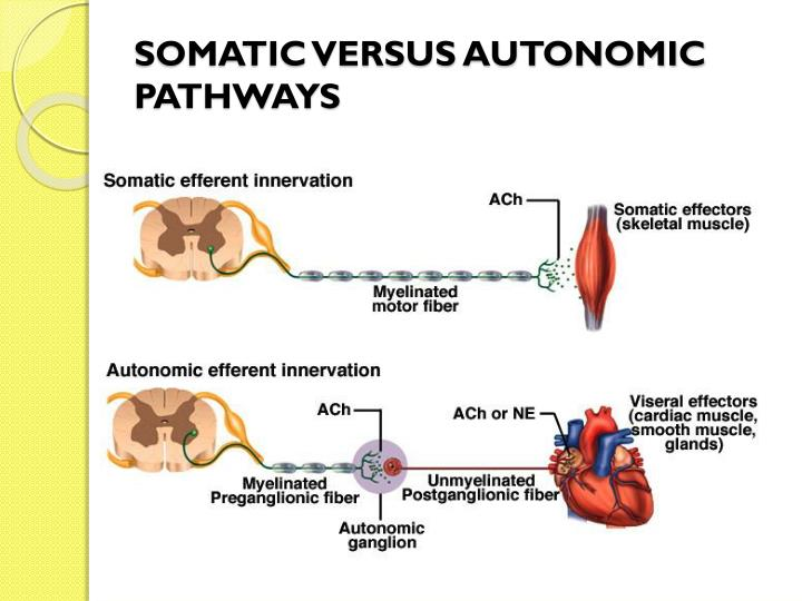 SOMATIC VERSUS AUTONOMIC PATHWAYS