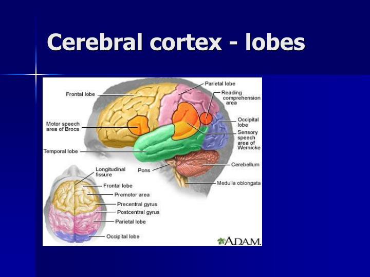 Cerebral cortex - lobes