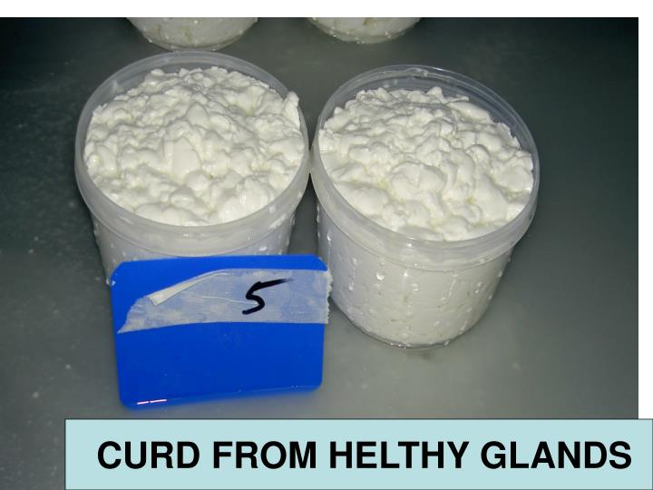 CURD FROM HELTHY GLANDS