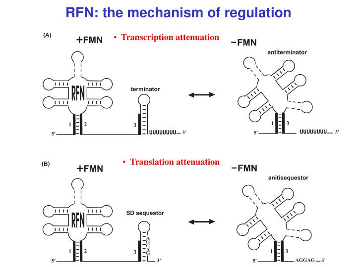 RFN: the mechanism of regulation