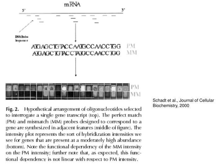 Schadt et al., Journal of Cellular Biochemistry, 2000