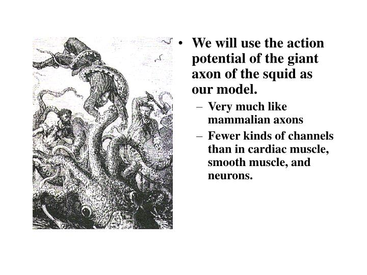 We will use the action potential of the giant axon of the squid as our model.