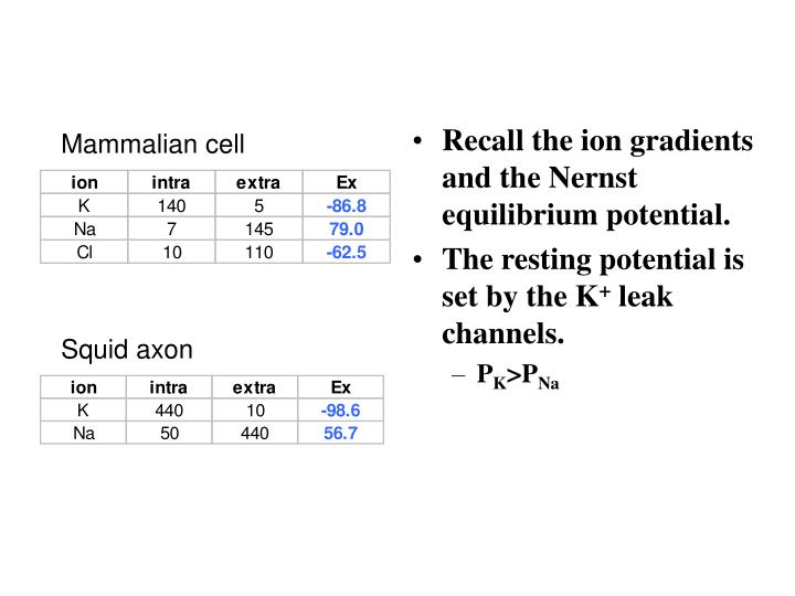 Recall the ion gradients and the Nernst equilibrium potential.