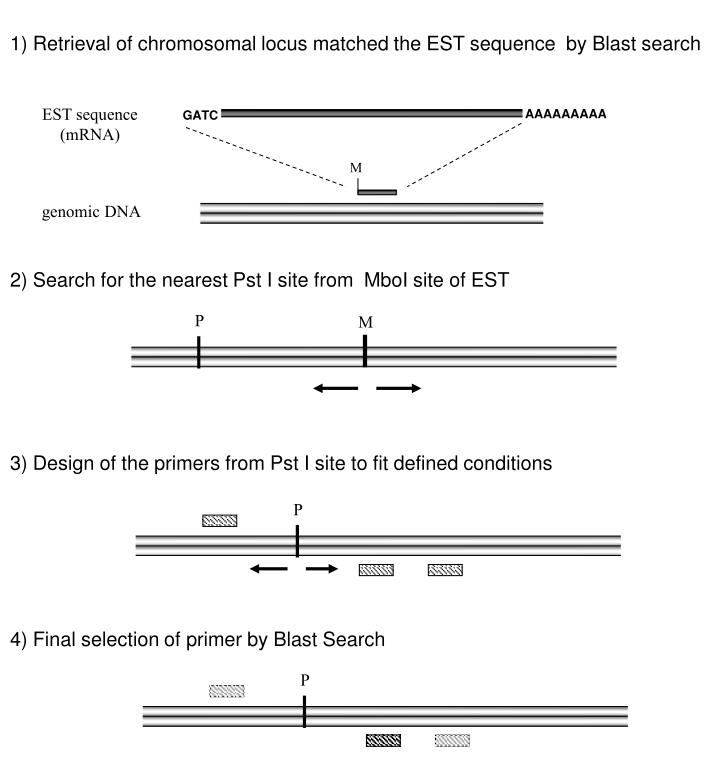 1) Retrieval of chromosomal locus matched the EST sequence  by Blast search