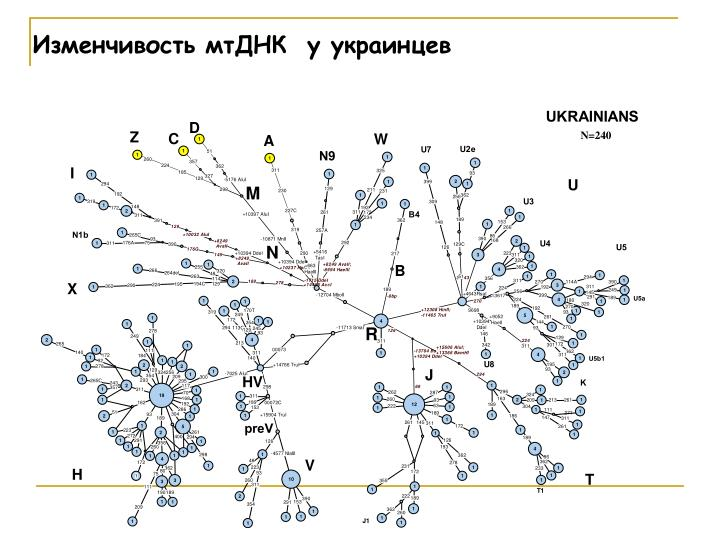 Изменчивость мтДНК  у украинцев