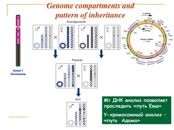 Genome compartments and
