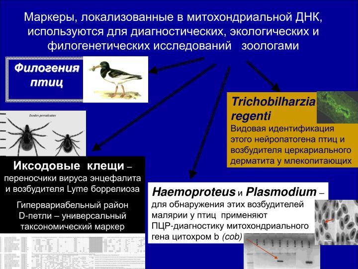 Маркеры, локализованные в митохондриальной ДНК, используются для диагностических, экологических и филогенетических исследований   зоологами
