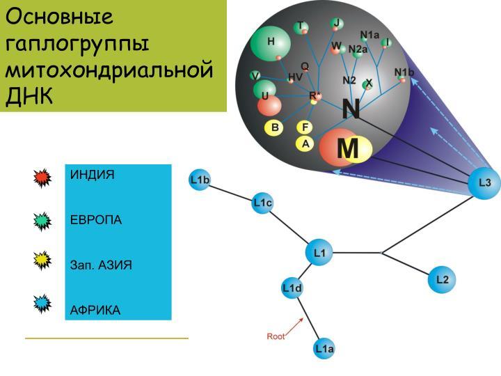 Основные гаплогруппы митохондриальной ДНК