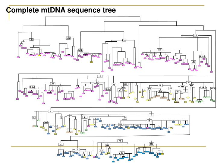 Complete mtDNA sequence tree