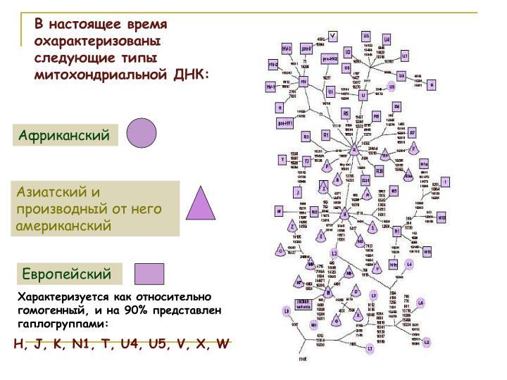 В настоящее время охарактеризованы следующие типы митохондриальной ДНК: